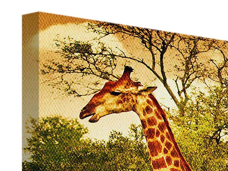 Leinwandbild 3-teilig Südafrikanische Giraffen