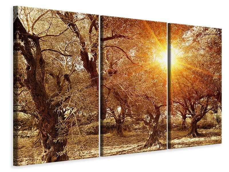 Leinwandbild 3-teilig Olivenbäume im Herbstlicht