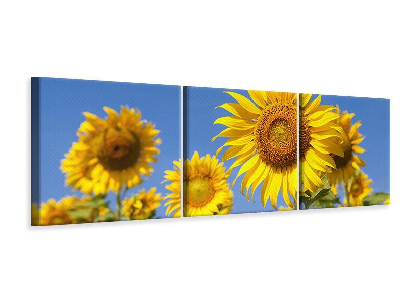 Panorama Leinwandbild 3-teilig Himmlische Sonnenblumen