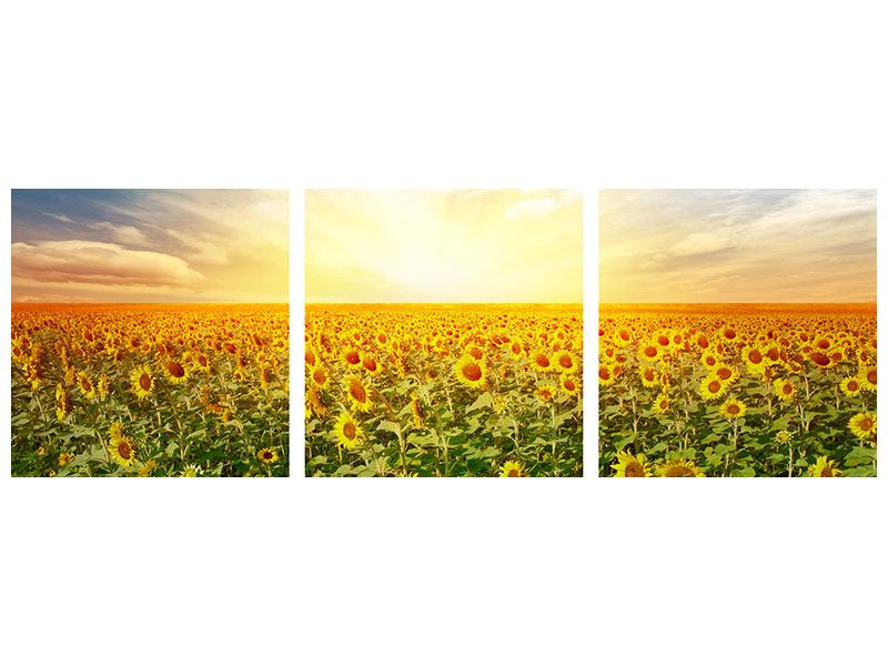 Panorama Leinwandbild 3-teilig Ein Feld voller Sonnenblumen