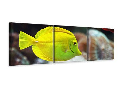 Panorama Leinwandbild 3-teilig Segelflossendoktorfisch