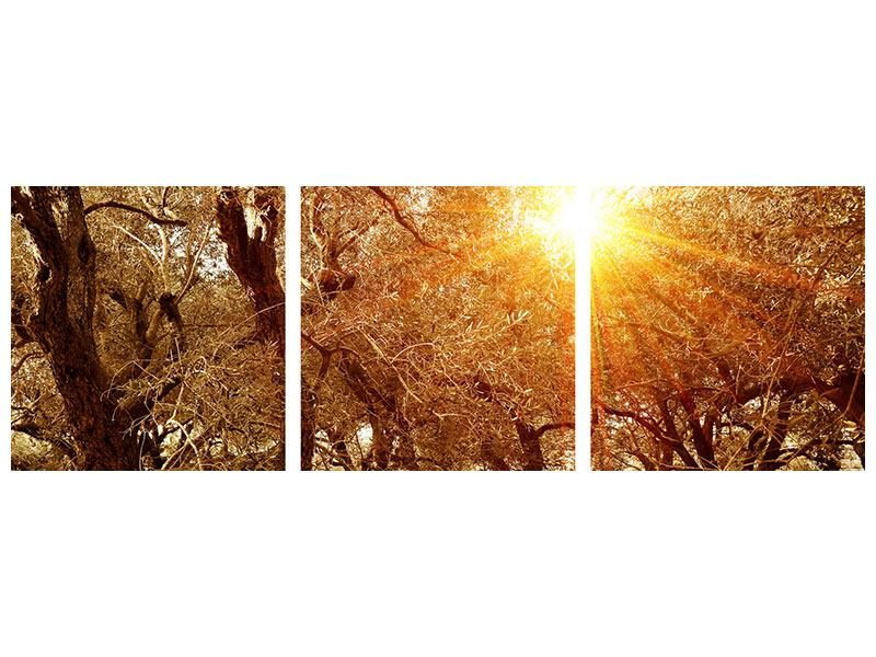 Panorama Leinwandbild 3-teilig Olivenbäume im Herbstlicht