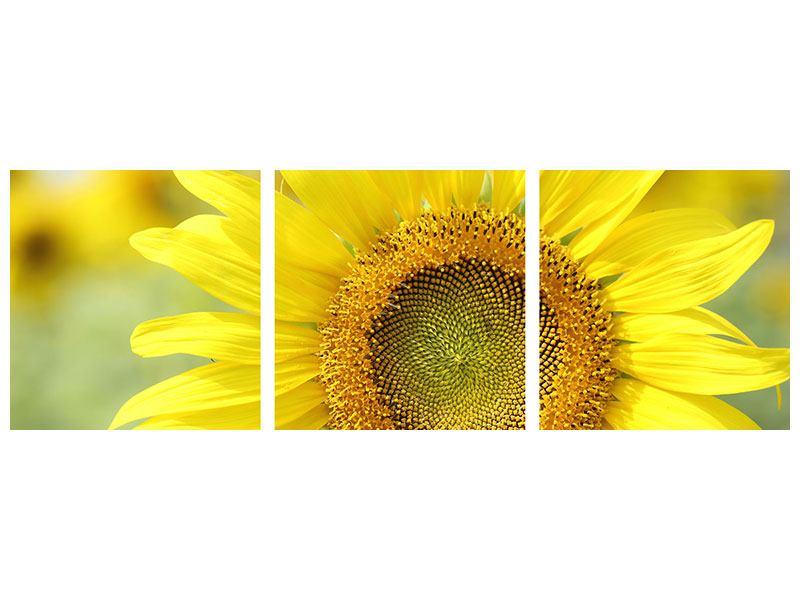 Panorama Leinwandbild 3-teilig Die Blume der Sonne