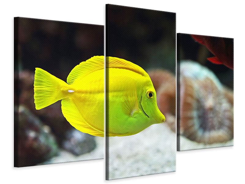 Leinwandbild 3-teilig modern Segelflossendoktorfisch