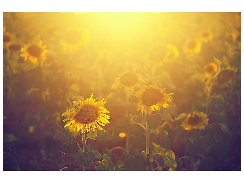 Leinwandbild Sonnenblumen im goldenen Licht