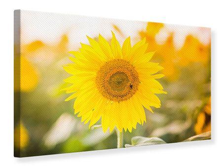 Leinwandbild Sunflower