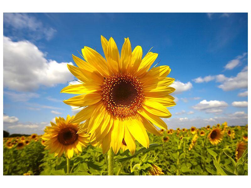 Leinwandbild Das Feld der Sonnenblumen