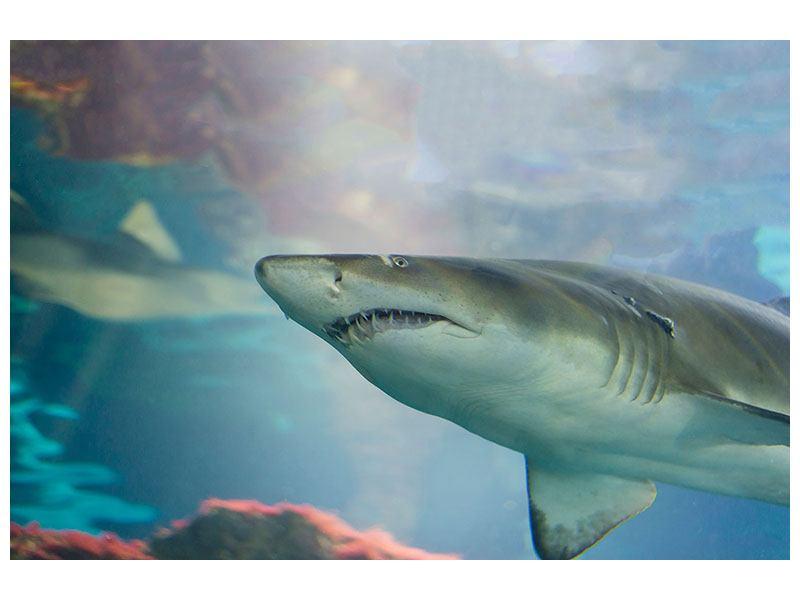 Leinwandbild Hai
