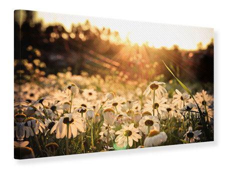 Leinwandbild Gänseblümchen bei Sonnenuntergang
