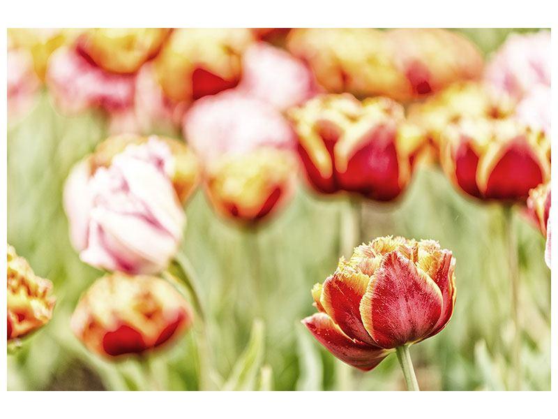 Leinwandbild Die Schönheit der Tulpe
