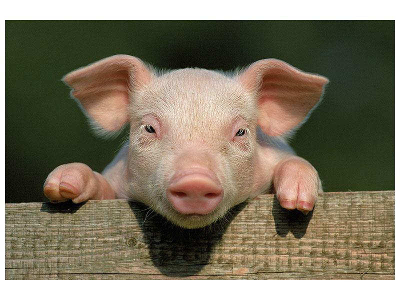 Leinwandbild Schweinchen Namens Babe