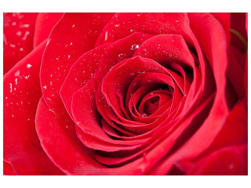 Leinwandbild Rote Rose im Morgentau