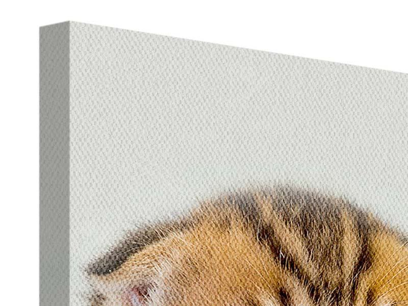 Leinwandbild Faltohrkatzenbaby