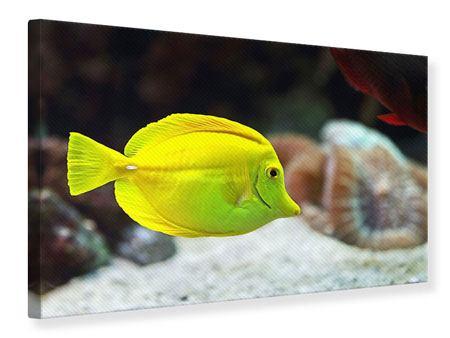 Leinwandbild Segelflossendoktorfisch