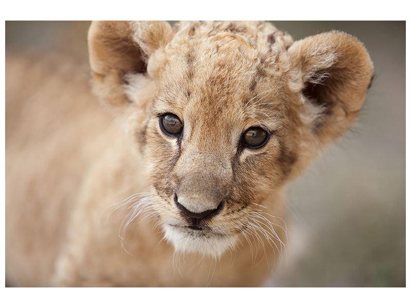 Leinwandbild Löwenbaby