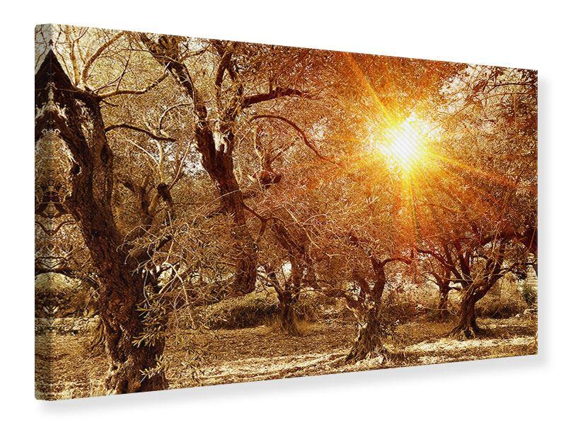 Leinwandbild Olivenbäume im Herbstlicht