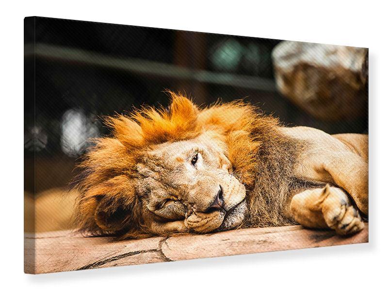 Leinwandbild Entspannter Löwe