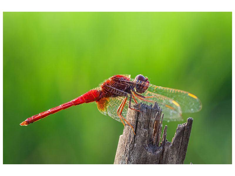 Leinwandbild Libelle XXL