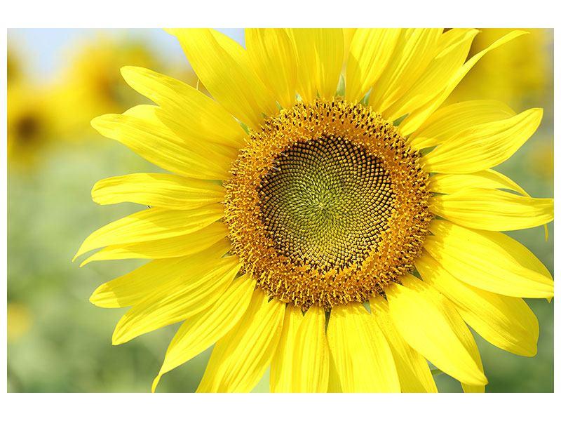 Leinwandbild Die Blume der Sonne