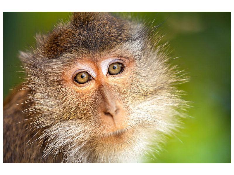 Leinwandbild Der Makak