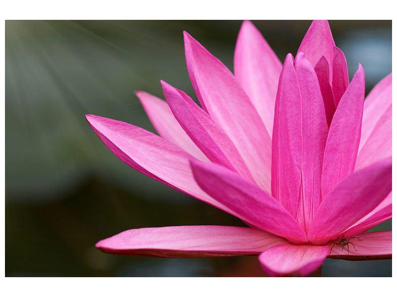 Leinwandbild XXL Seerose in Pink