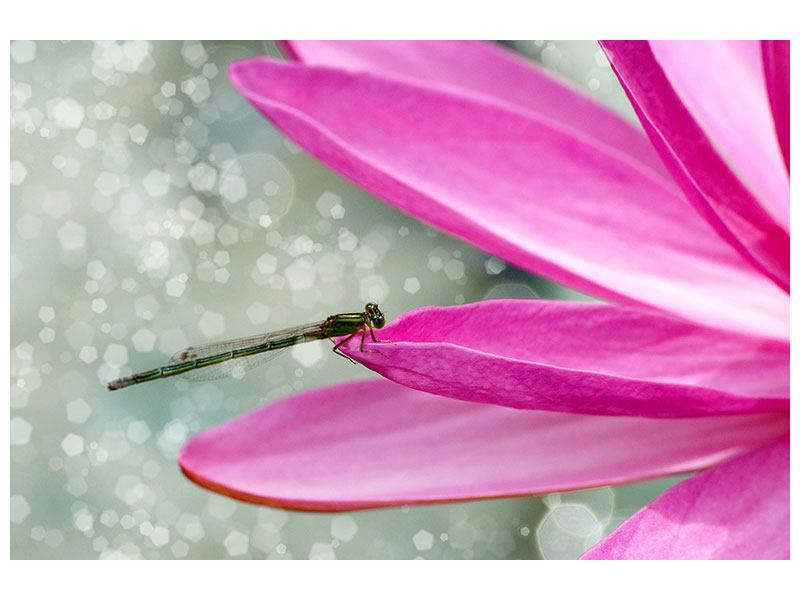 Leinwandbild Libelle auf dem Seerosenblatt
