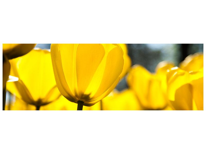 Metallic-Bild Panorama Gelbe Tulpen in XXL