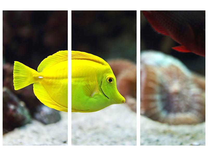 Metallic-Bild 3-teilig Segelflossendoktorfisch