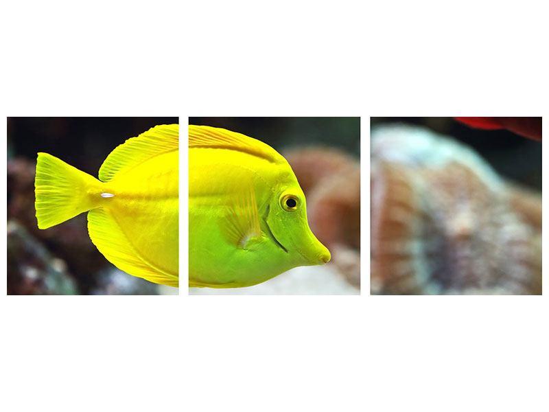 Panorama Metallic-Bild 3-teilig Segelflossendoktorfisch