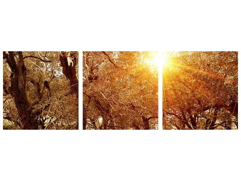 Panorama Metallic-Bild 3-teilig Olivenbäume im Herbstlicht