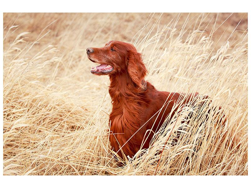 Metallic-Bild Irish Red Setter