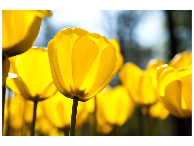 Metallic-Bild Gelbe Tulpen in XXL