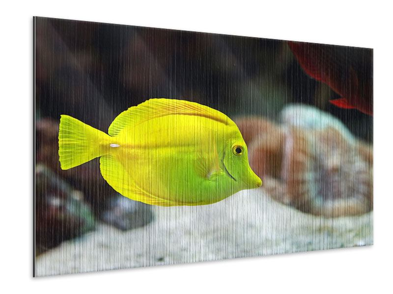 Metallic-Bild Segelflossendoktorfisch