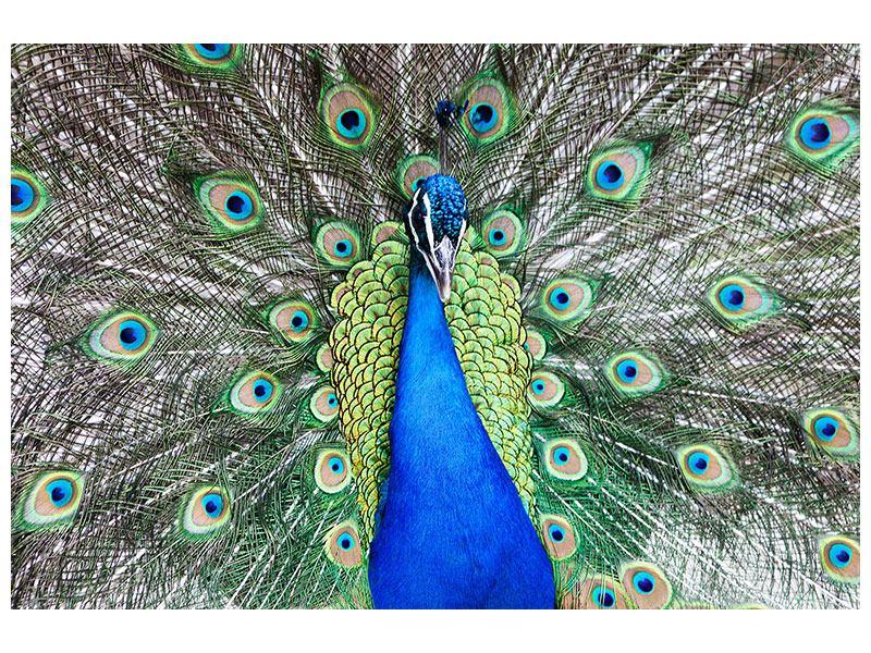 Metallic-Bild Blauer Pfau