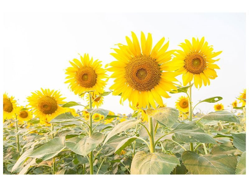Metallic-Bild Das Sonnenblumenfeld
