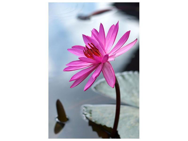 Metallic-Bild Grosse Lotus in Pink