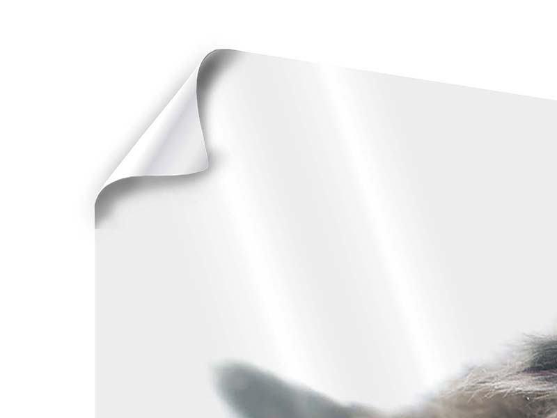 Poster Panorama Perserkitten