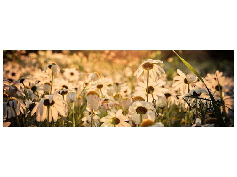 Poster Panorama Gänseblümchen bei Sonnenuntergang