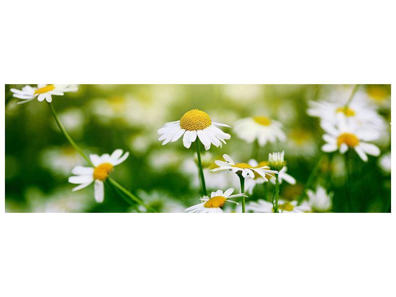 Poster Panorama Die Gänseblümchen