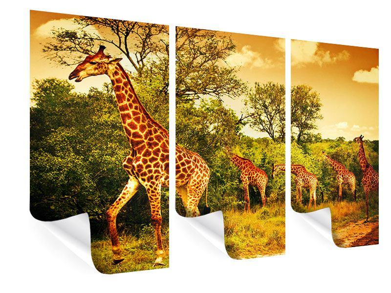 Poster 3-teilig Südafrikanische Giraffen