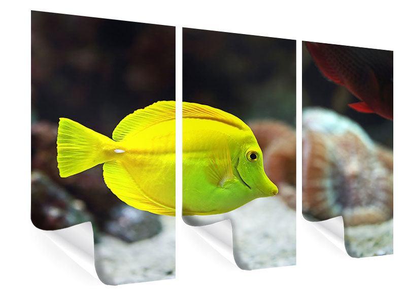 Poster 3-teilig Segelflossendoktorfisch