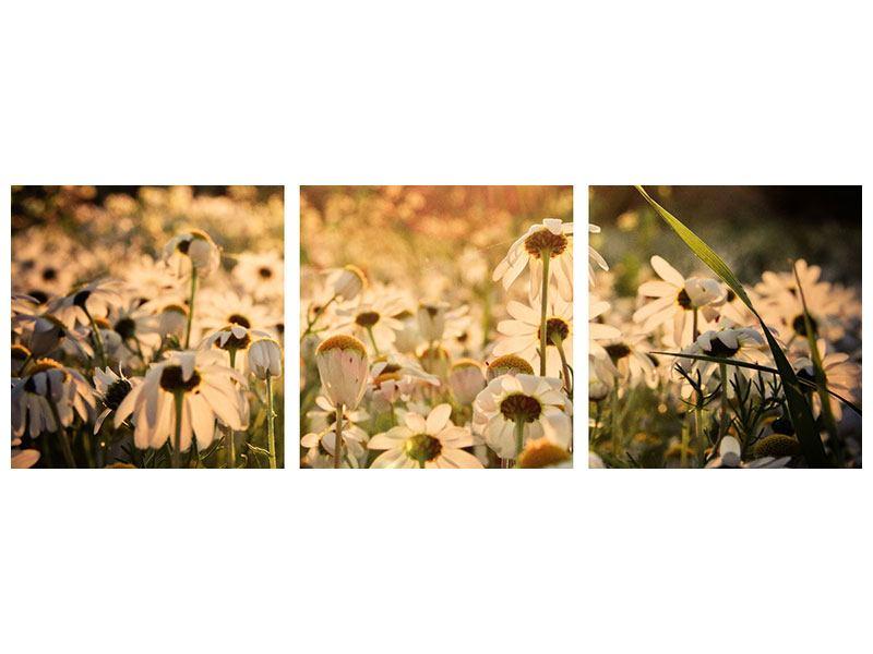 Panorama Poster 3-teilig Gänseblümchen bei Sonnenuntergang