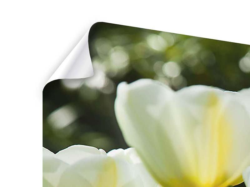 Panorama Poster 3-teilig Tulpen bei Sonnenuntergang