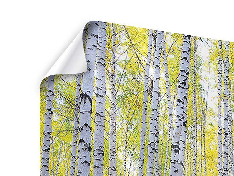 Panorama Poster 3-teilig Herbstlicher Birkenwald