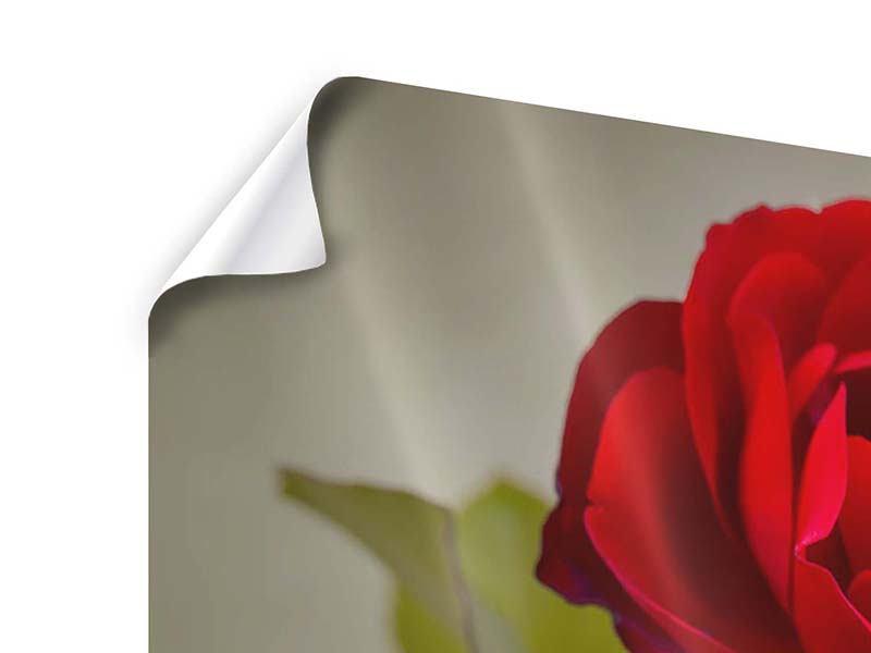 Panorama Poster 3-teilig Drei rote Rosen