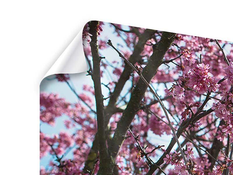 Panorama Poster 3-teilig Japanische Blütenkirsche