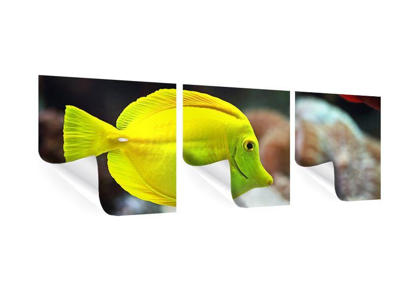 Panorama Poster 3-teilig Segelflossendoktorfisch
