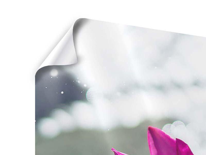 Panorama Poster 3-teilig Seerosenduo in Pink