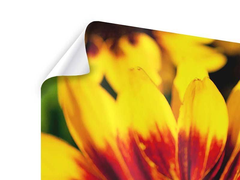 Poster 4-teilig modern Reife Sonnenblumen