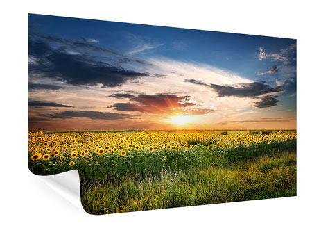 Poster Ein Feld von Sonnenblumen